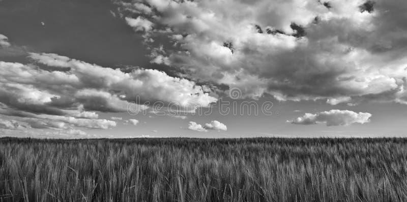 Zwart-witte scène met gerstgebied Hordeum vulgare stock foto