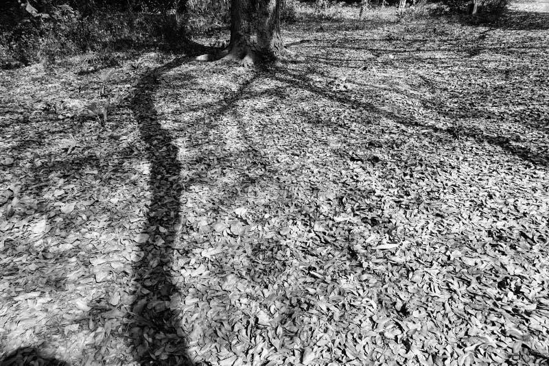 Zwart-witte schaduw van een boom stock afbeeldingen