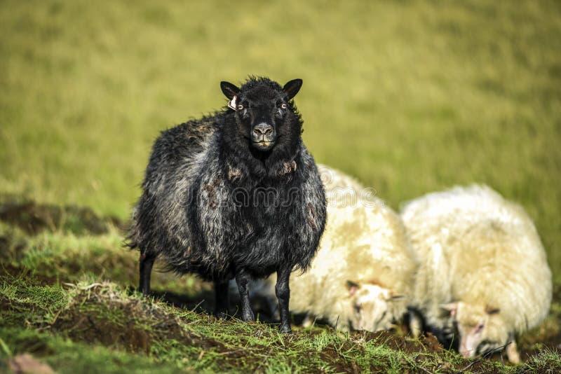 Zwart-witte schapen die op een weiland in IJsland op zonnig weiden royalty-vrije stock fotografie