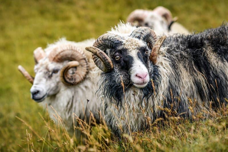 Zwart-witte schapen die op een weiland in IJsland op zonnig weiden royalty-vrije stock afbeeldingen