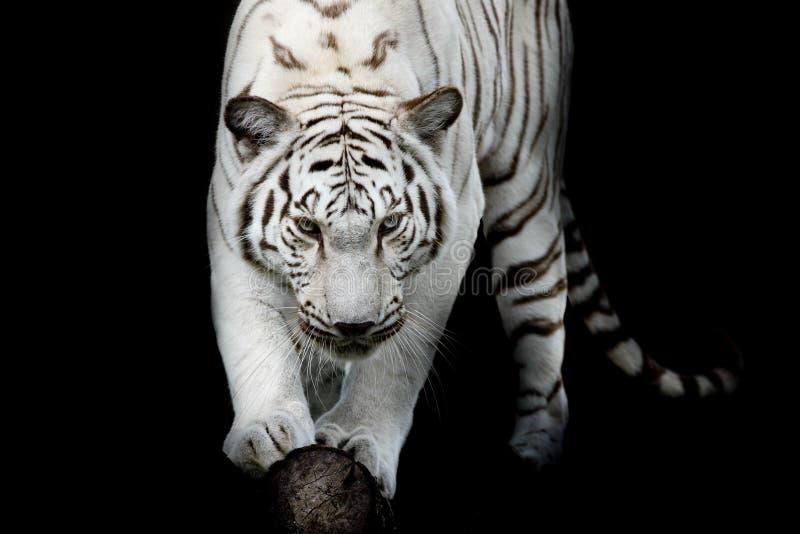 Zwart-witte tijger stock afbeelding