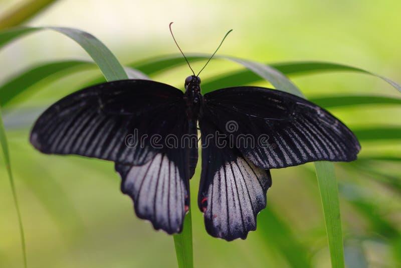 Zwart-witte tropische vlinder op het blad royalty-vrije stock foto's