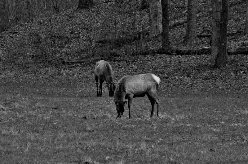 Zwart-witte Twee Elanden die en zich in een Bos bevinden eten royalty-vrije stock afbeelding
