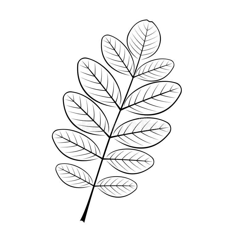 Zwart-witte vectorillustratie van het acaciablad royalty-vrije illustratie