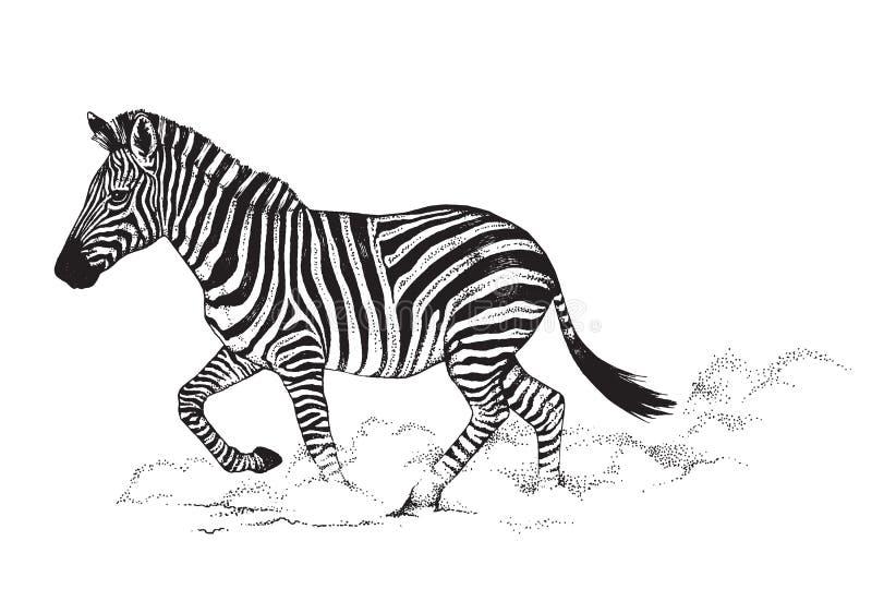 Zwart-witte vectorlijntekening van een Zebra vector illustratie