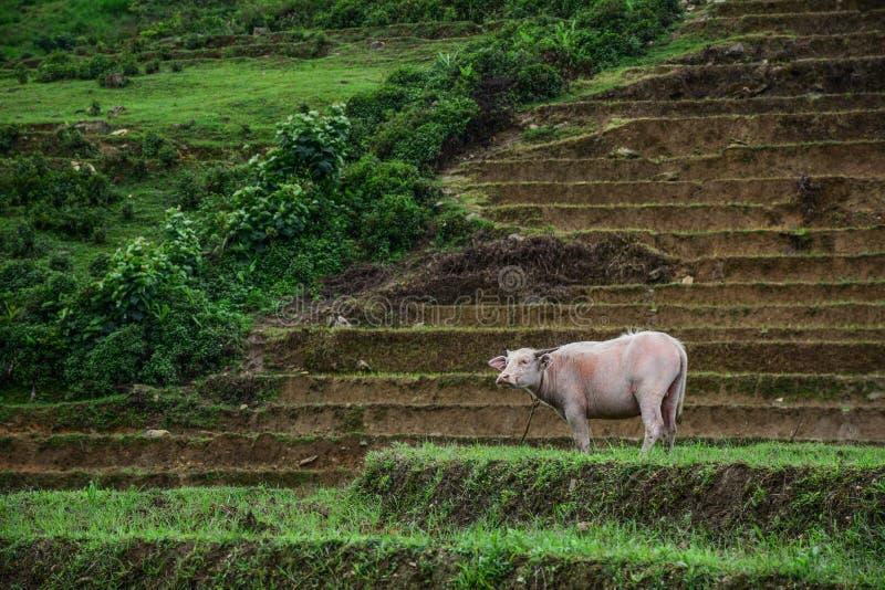 Zwart-witte Vietnamese waterbuffel royalty-vrije stock afbeelding