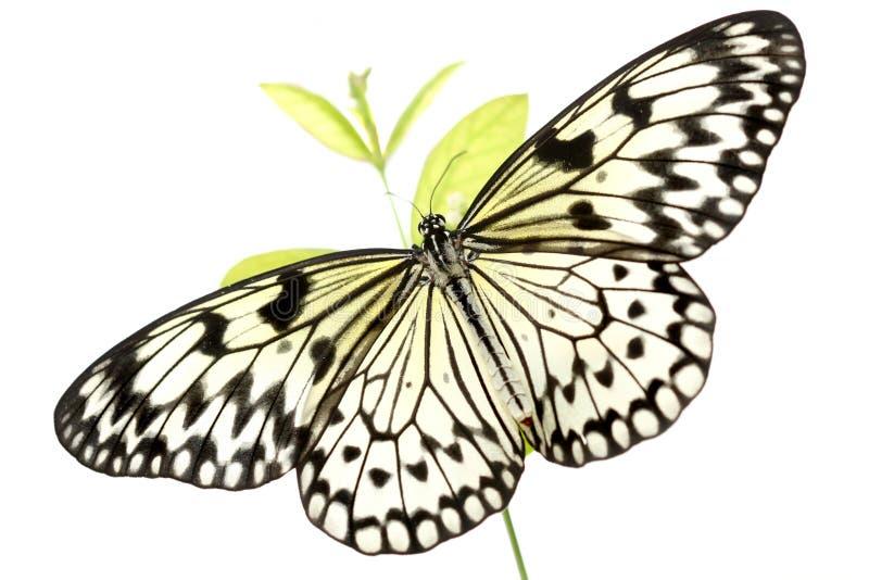 Zwart-witte Vlinder (Idee Leuconoe) op Wit stock afbeeldingen