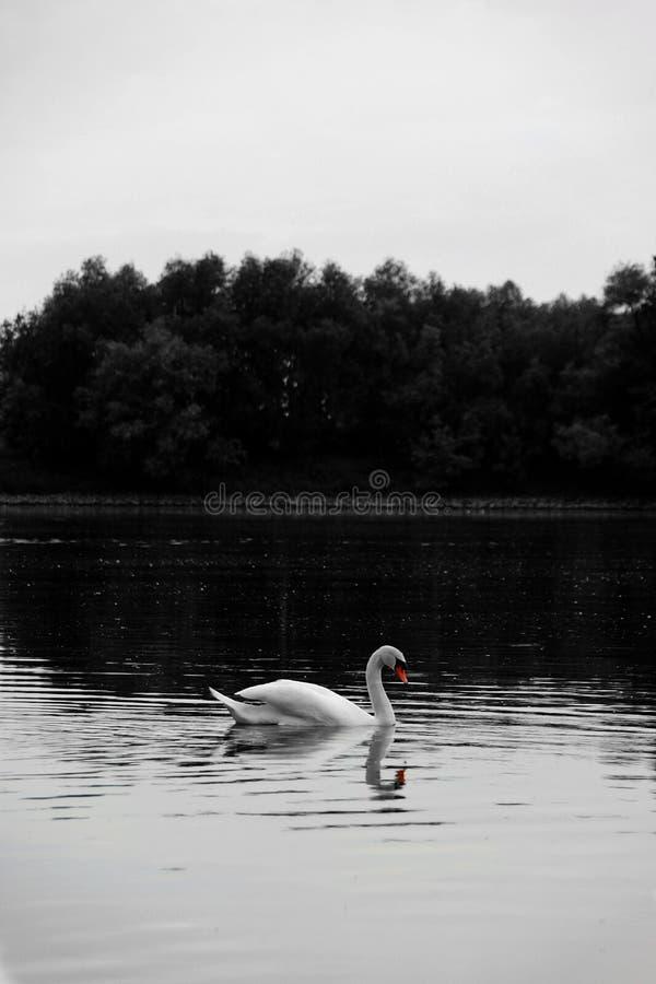 Zwart-witte zwaan royalty-vrije stock foto's