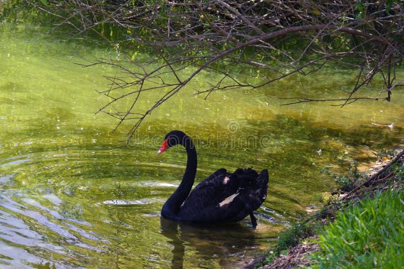 Zwart zwaanbeeld stock fotografie