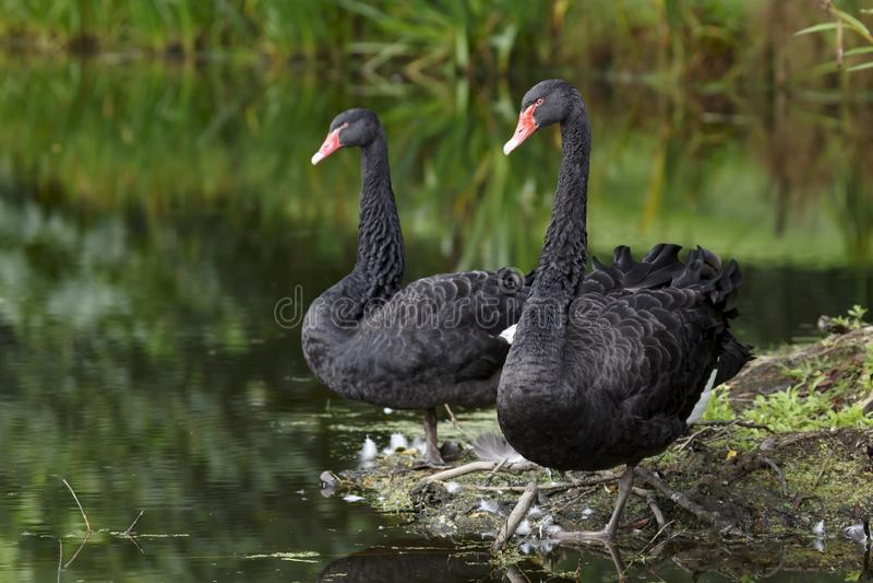 Zwart zwanenpaar stock afbeeldingen