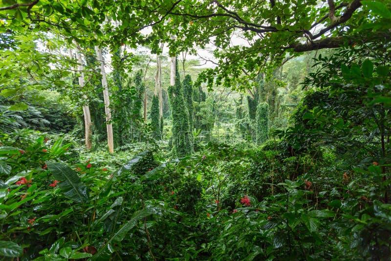 Zwarta zielenista zielona tropikalna tropikalny las deszczowy roślinność zdjęcie stock