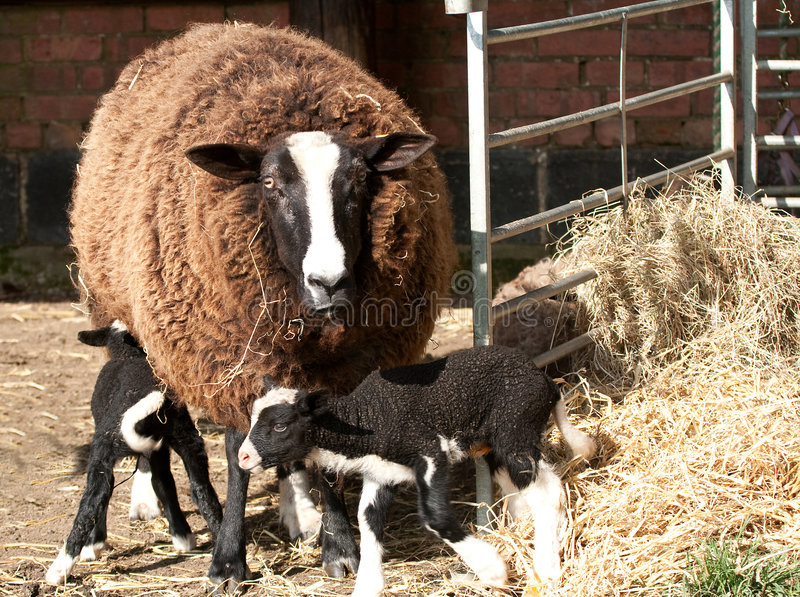 Zwartbles with triplets in the hay. Zwartbles ewe with triplets in the byre royalty free stock photo