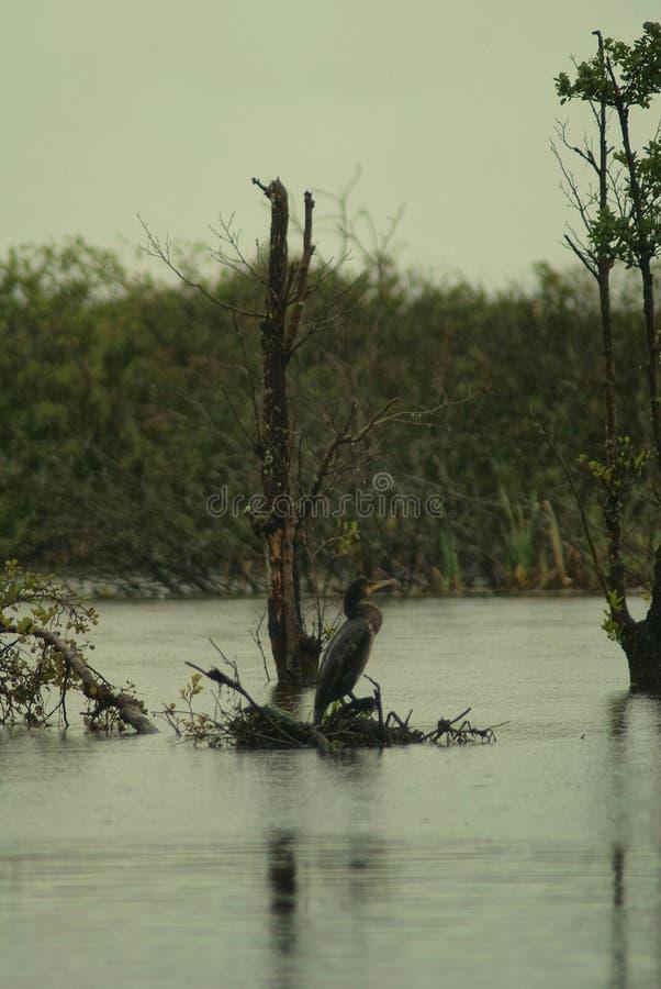 Zwarte Aalscholver, Phalacrocorax Niger, dichtbij meer royalty-vrije stock afbeelding
