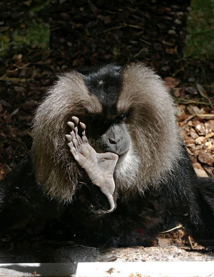 Zwarte aap die zijn duim zuigen stock afbeeldingen