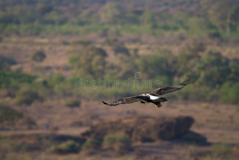 Zwarte adelaar stock fotografie