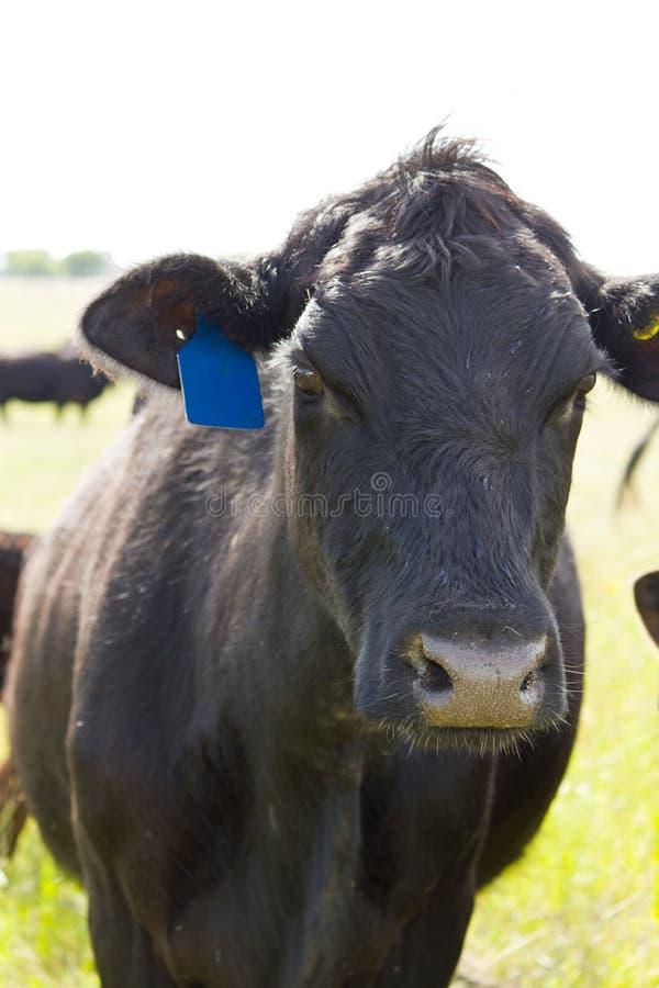 Zwarte Angus Cow stock fotografie