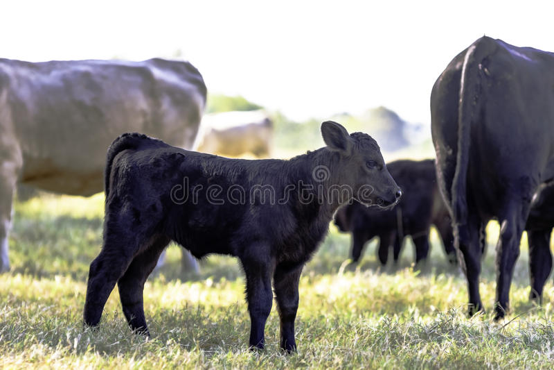 Zwarte Angus kruist kalf in kudde royalty-vrije stock afbeeldingen