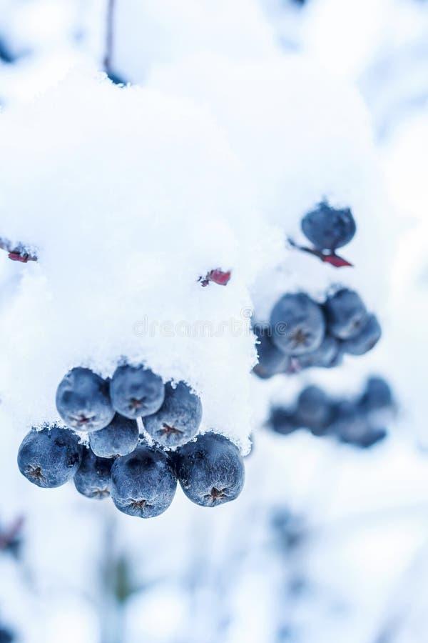 Zwarte ashberry in de sneeuw in de winter royalty-vrije stock foto's