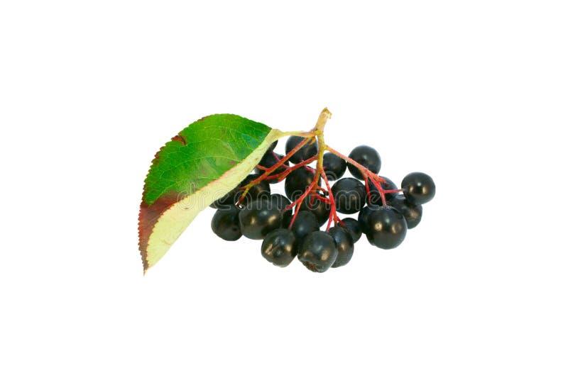 Zwarte ashberry (melanocarpa Aronia) stock afbeelding