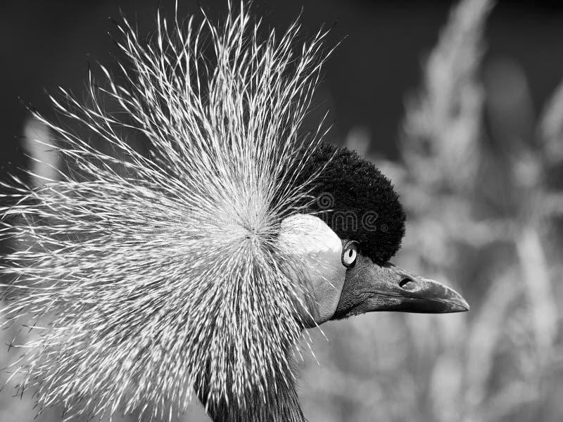 Zwarte bekroonde kraanvogel dicht omhoog royalty-vrije stock fotografie