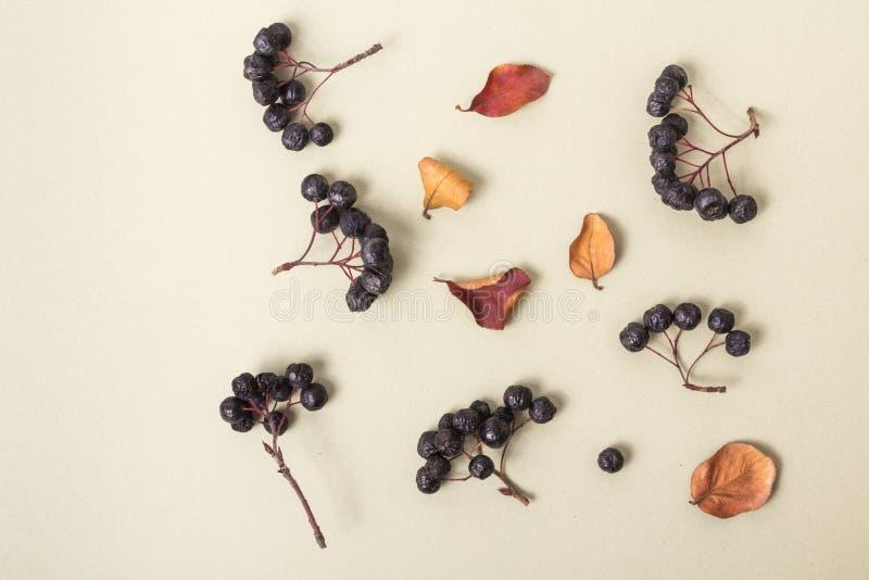 Zwarte bessen en de herfstbladeren op een lichte achtergrond Hoogste mening Clusters van bessen Licht warm pastelkleurdocument in stock foto's