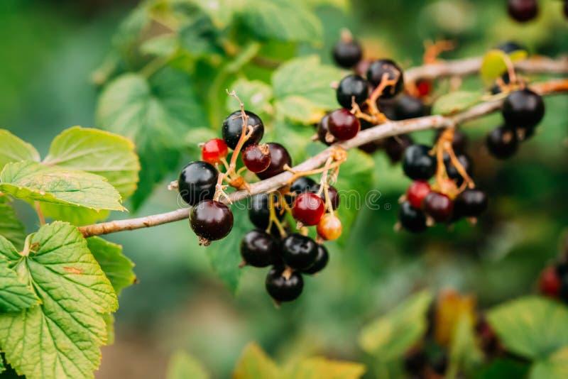 Zwarte bestak Het kweken van Organische Bessenclose-up in zonstraal royalty-vrije stock foto's