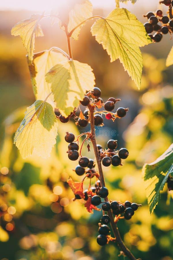 Zwarte bestak Het kweken van Organische Bessenclose-up in zonstralen stock fotografie