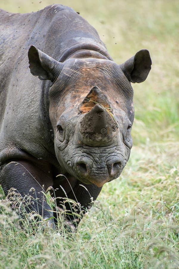 Zwarte bicornismichaeli van rinocerosdiceros in gevangenschap stock foto's