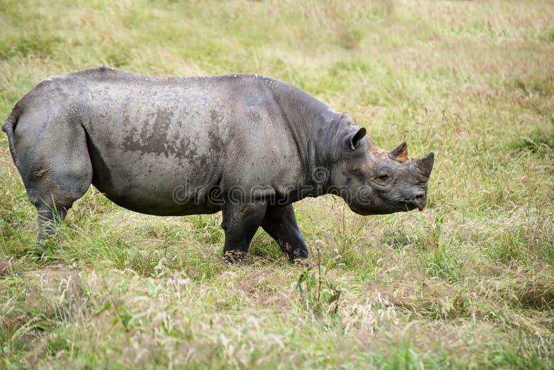 Zwarte bicornismichaeli van rinocerosdiceros in gevangenschap royalty-vrije stock foto
