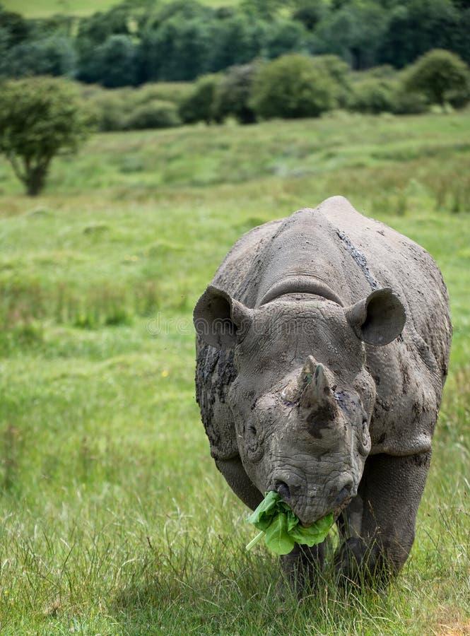 Zwarte bicornismichaeli van rinocerosdiceros in gevangenschap stock afbeeldingen