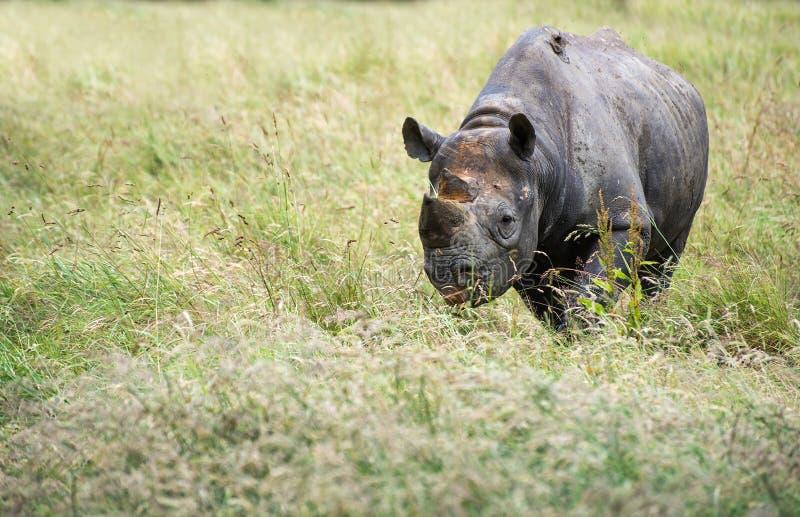 Zwarte bicornismichaeli van rinocerosdiceros in gevangenschap royalty-vrije stock foto's