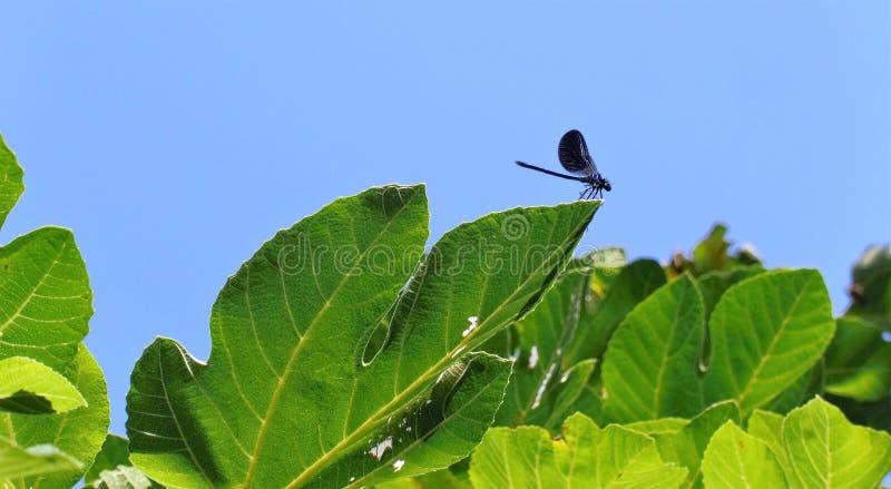 Zwarte blauwe Libel op groene bladeren stock afbeeldingen