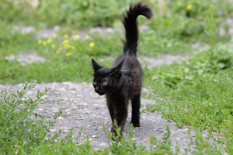 Zwarte bontpot die in gras lopen stock fotografie
