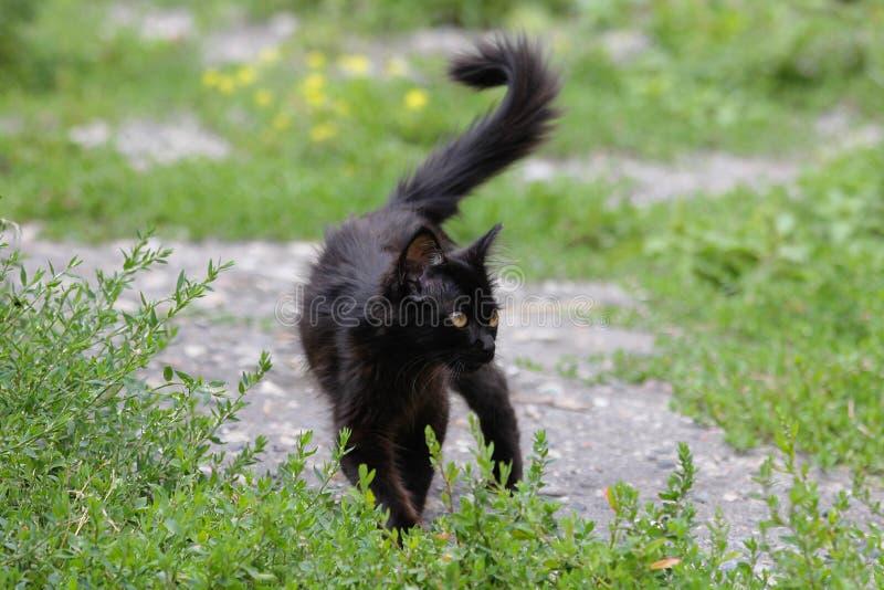 Zwarte bontpot die in gras lopen stock afbeeldingen