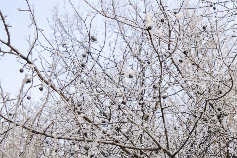 Zwarte bosbessen en sneeuw Vorst, seizoen royalty-vrije stock foto
