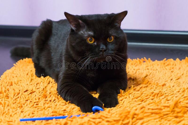 Zwarte Britse kat met oranje ogen huns voor een stuk speelgoed stock afbeelding