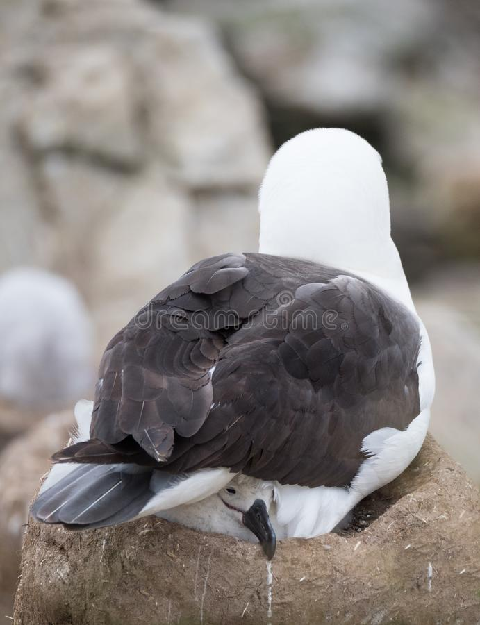 Zwarte Browed Albatros Chick Warmed door zijn Ouder royalty-vrije stock fotografie