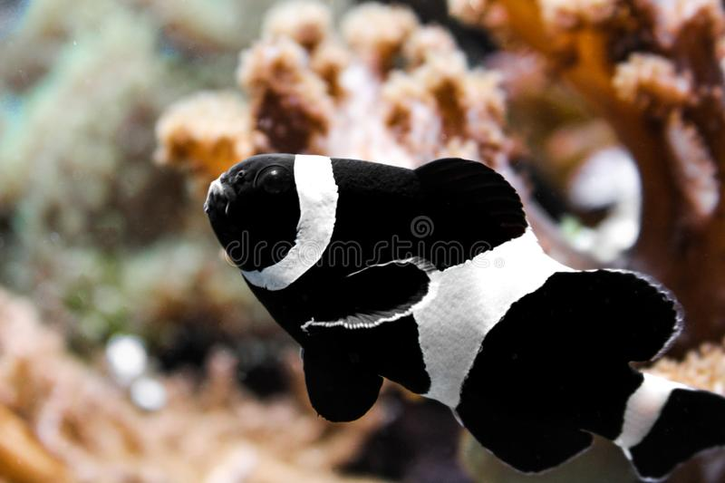 Zwarte clownfish in een aquarium stock fotografie