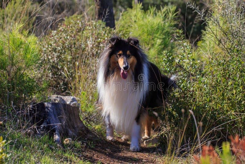 Zwarte colliehond op de bosweg die kijken naar royalty-vrije stock foto