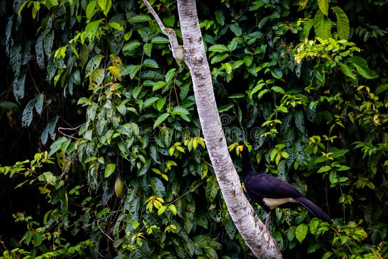 Zwarte Curassow in Suriname stock afbeelding