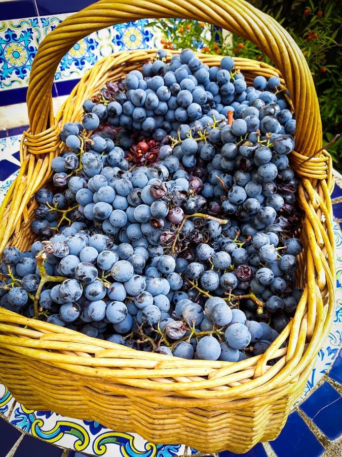 Zwarte die druivenbossen van Grenache-verscheidenheid in rieten mand wordt geplukt royalty-vrije stock afbeelding