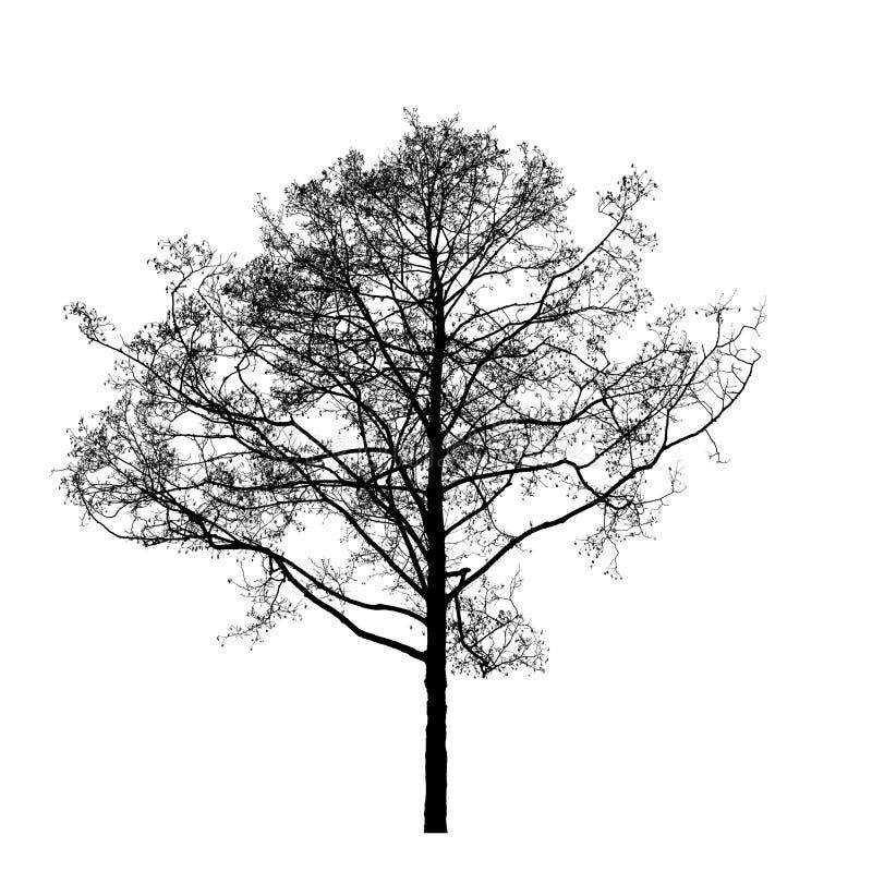 Zwarte die leafless elsboom op wit wordt geïsoleerd stock foto