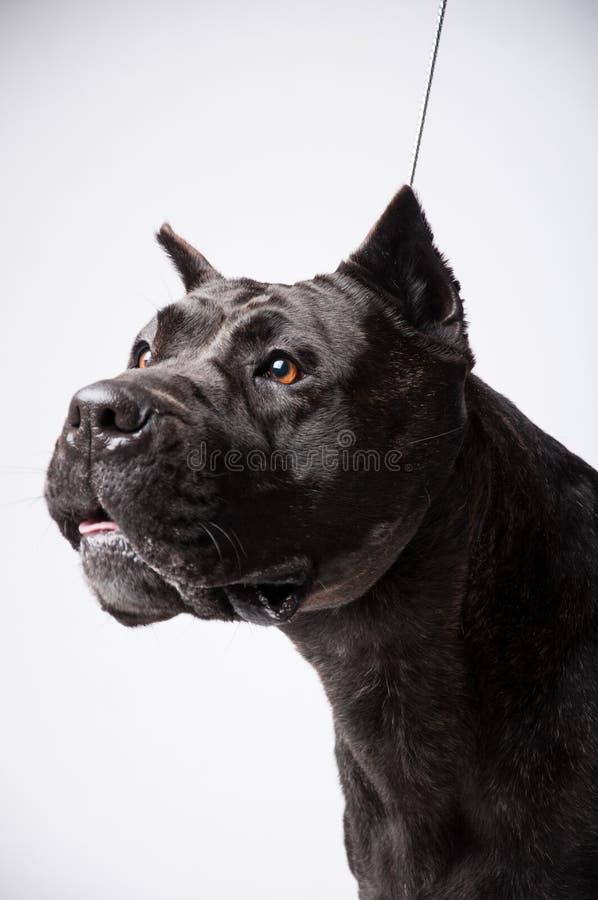 Zwarte die mastiff op wit wordt geïsoleerd royalty-vrije stock foto's