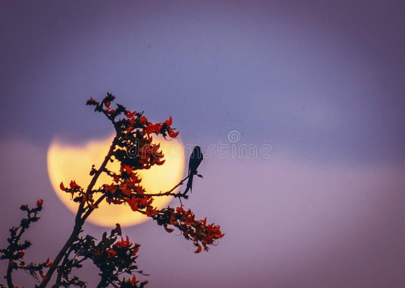 Zwarte drongo van de volle maanrododendron stock afbeelding
