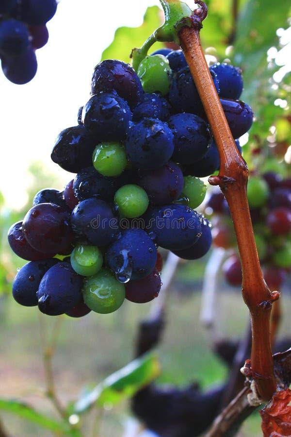 Zwarte druif stock foto