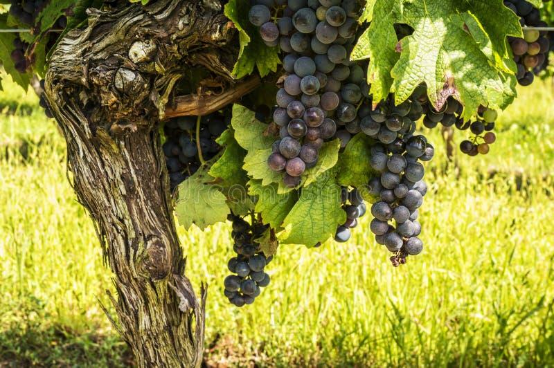 Zwarte druiven op de wijnstok stock afbeeldingen