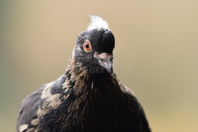 Zwarte duif royalty-vrije stock afbeelding