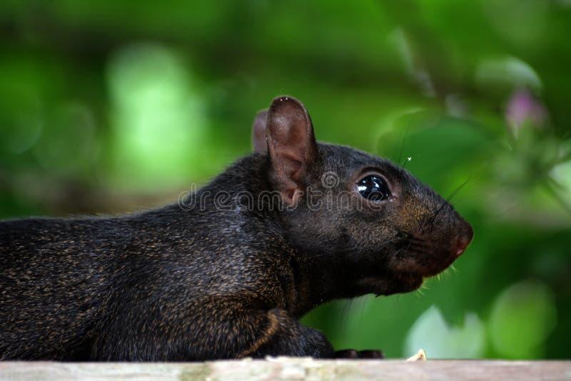 Zwarte eekhoorn stock fotografie
