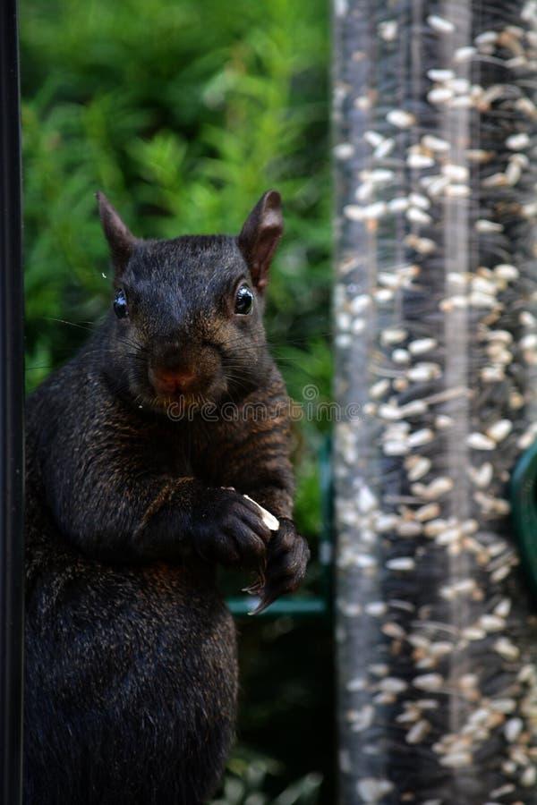 Zwarte eekhoorn stock afbeeldingen