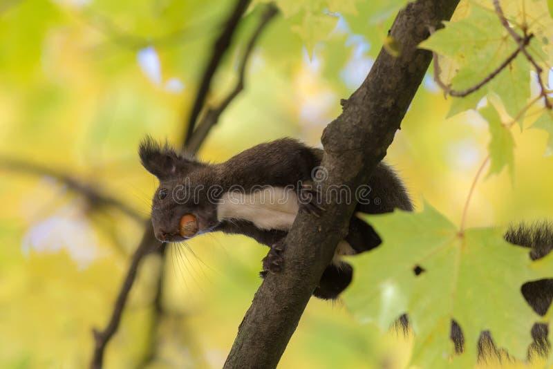 Zwarte eekhoorn met een noot royalty-vrije stock foto